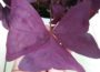 Oxalis Tringularis