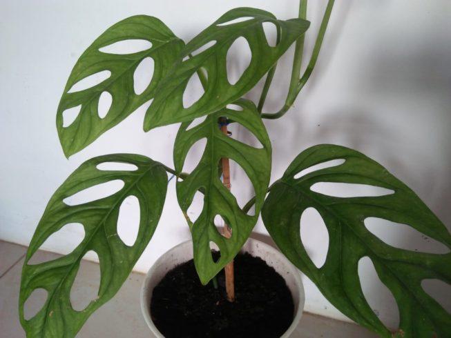 Monstera Adansonii - Swiss Chesee Plant