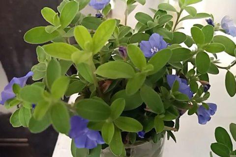Baby Blue Eyes Flower