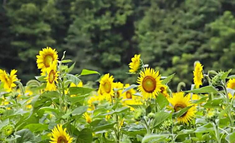 Bulk Sunflower Seeds