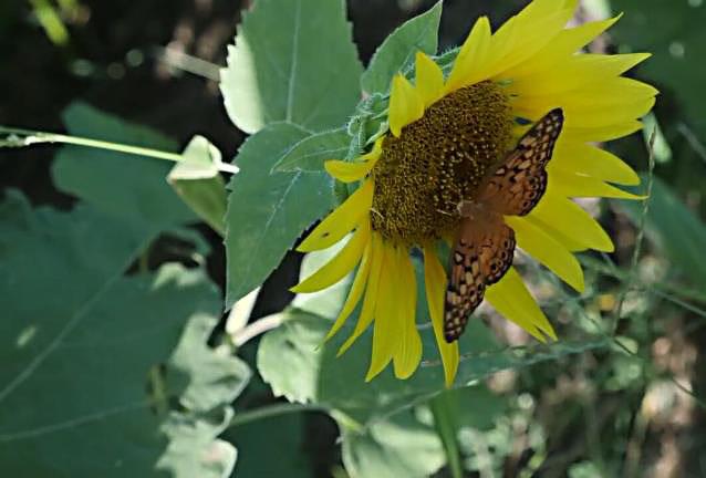 Bulk Sunflower