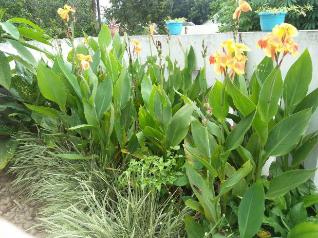 Canna Lily Care
