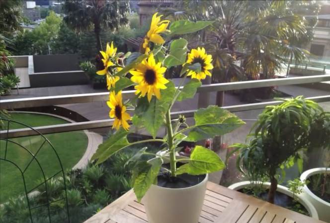 Germinate Sunflower Seed