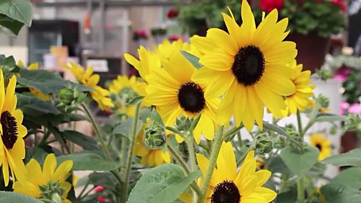 Hybrid Sunflower