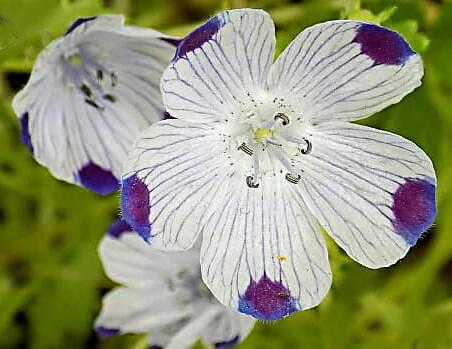 Nemophila Maculata Five Spot Flowers