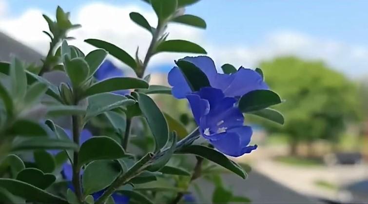 Nemophila menziesii flower