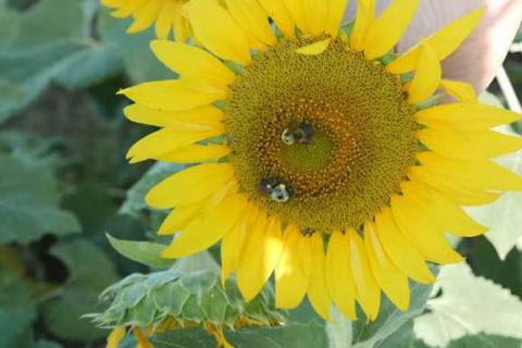 Organic black oil sunflower
