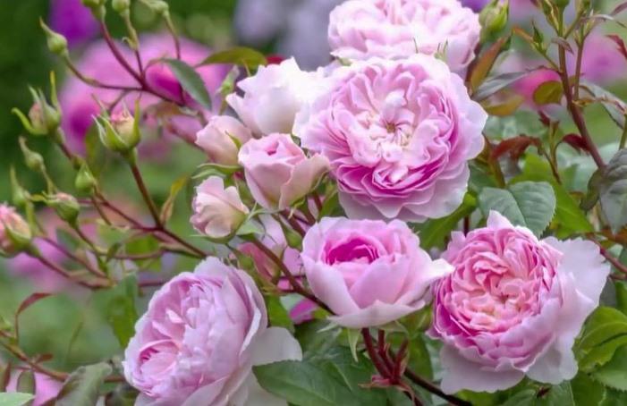 Silas marner rose