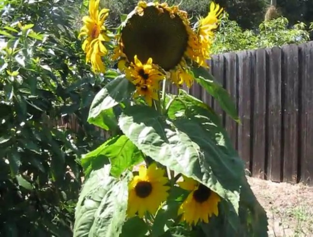 Sunzilla flower
