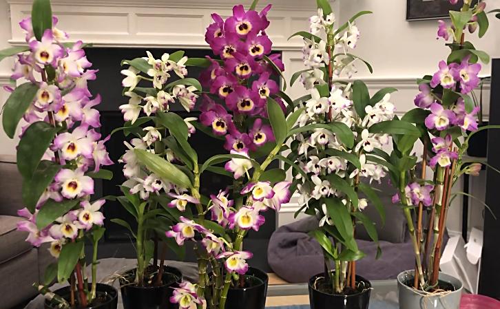 Hybrid dendrobium orchids
