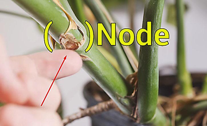 Monstera node