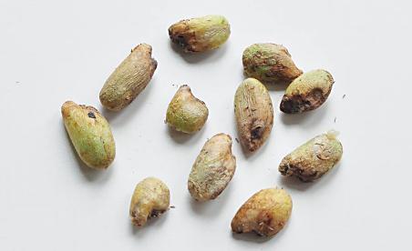 Monstera seeds