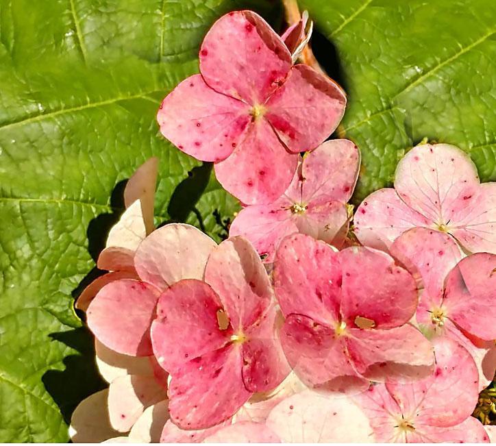 Snow Queen Oakleaf Hydrangea Plant