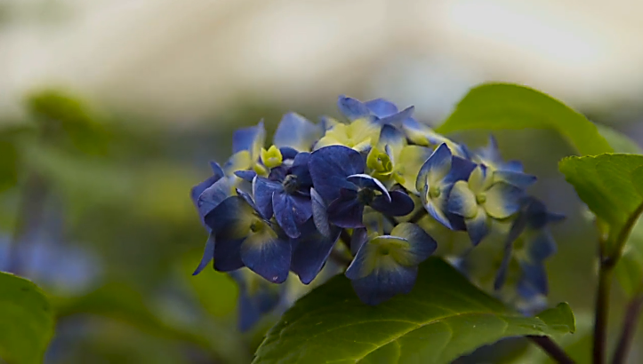 The hydrangea endless summer bloomstruck