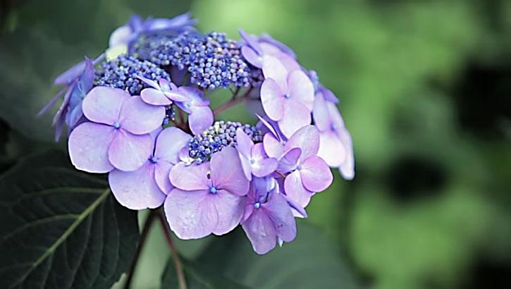 The hydrangea endless summer original