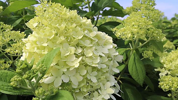 The limelight hydrangea.