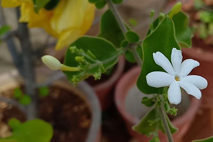 Jasmine of bloom