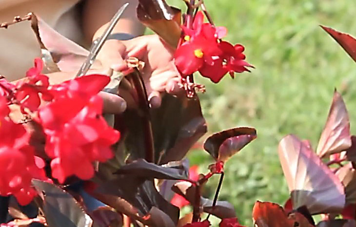 Thick Stemmed Begonia