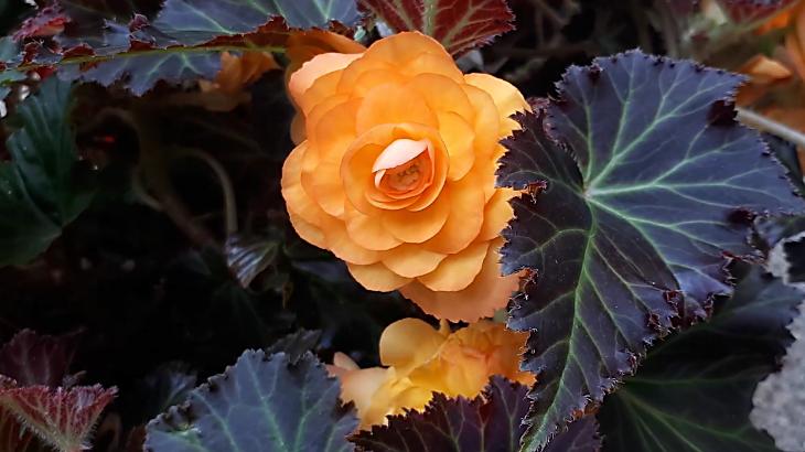 Type of begonia