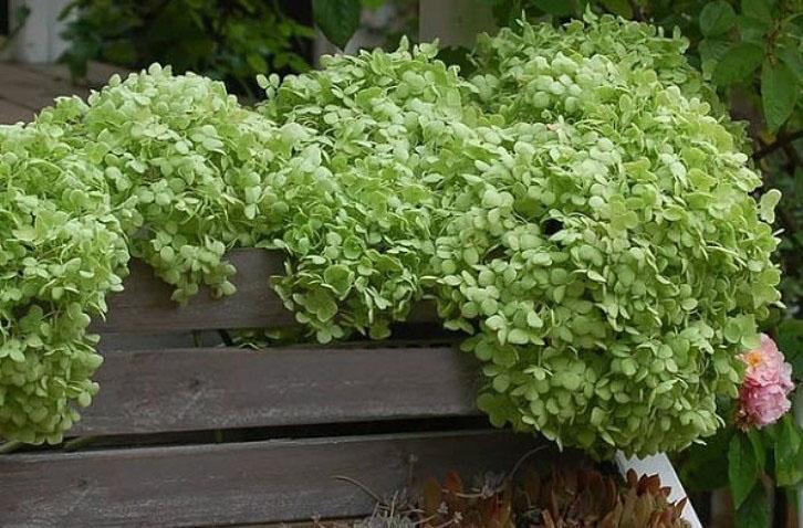 Annabelle Hydrangea leaves