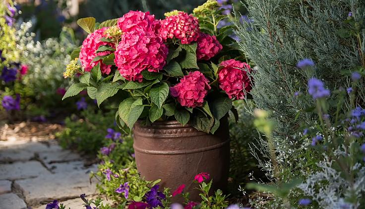 Hydrangea in pot outdoor