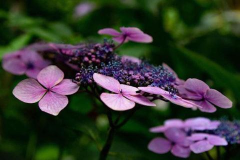 Hydrangea macrophylla care