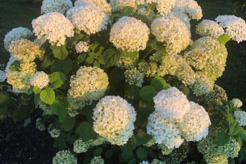 Incredible Hydrangea