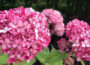 Picture of Anabelle hydrangea
