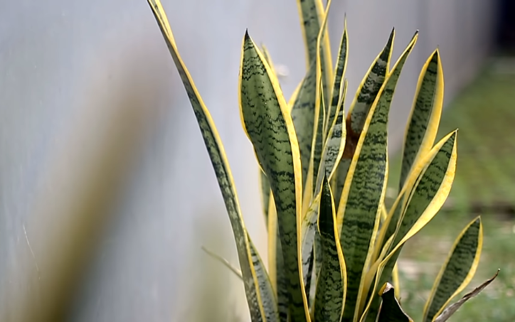 Snake Plant Care and Propagation