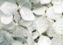 White anabelle hydrangea petals