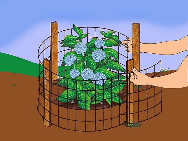 in-ground hydrangeas