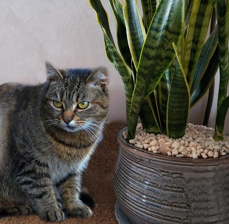 About snake plant safe for cats