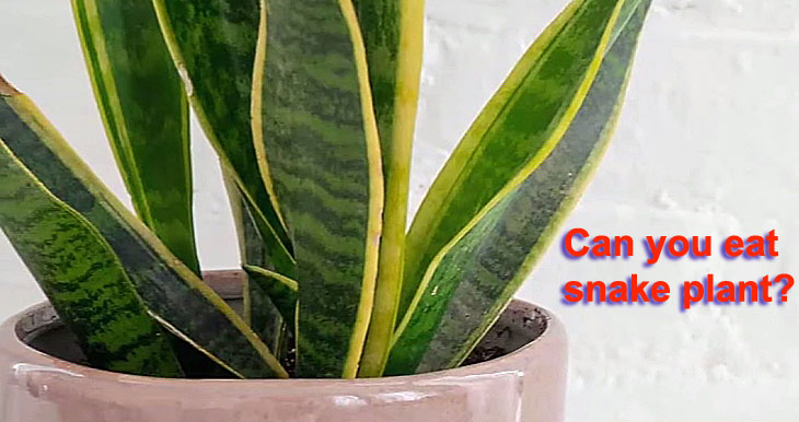 Can you eat snake plant