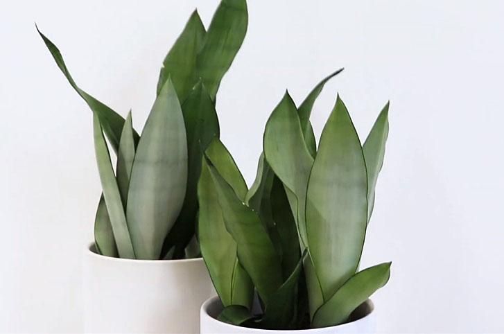 Moonshine snake plant