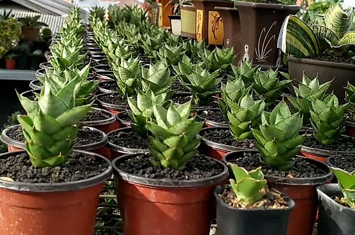 Snake Plant Family