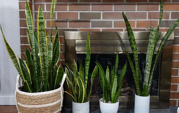 Trim snake plant