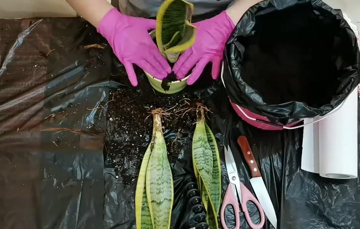 Snake Plant repotting step