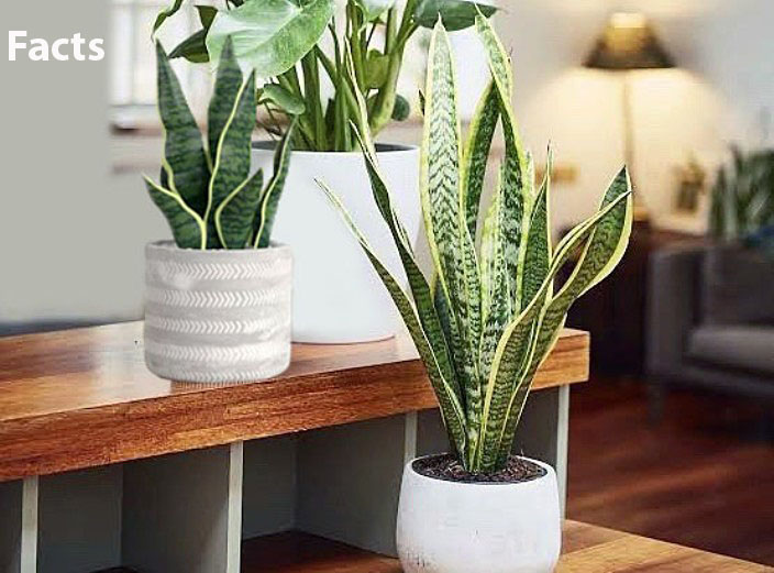 Snake plant facts