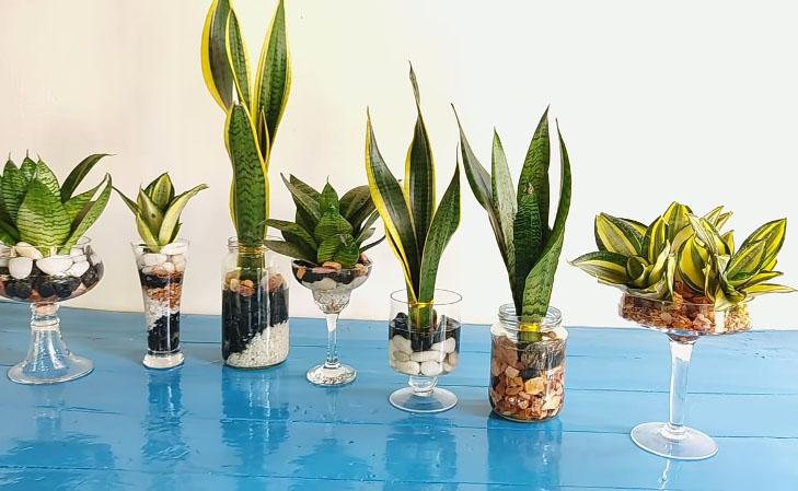 Snake plants for sale