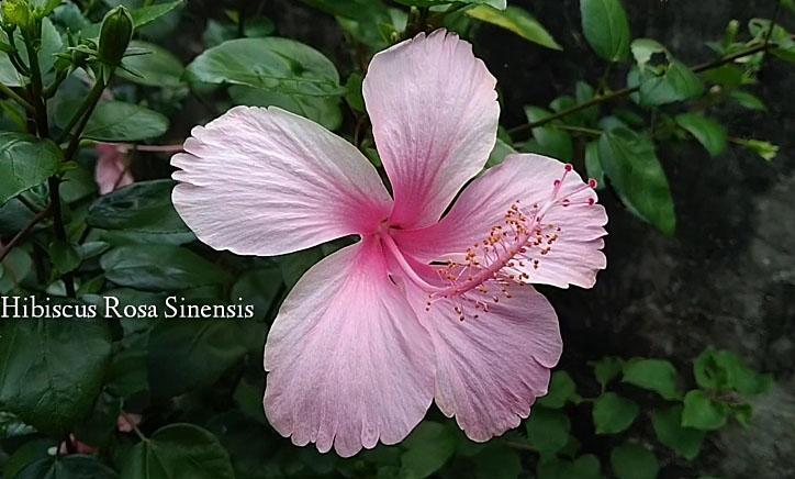 Chekered hibiscus