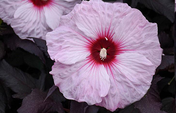 Dark mystery hibiscus