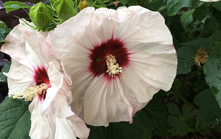 Giant rose mallow
