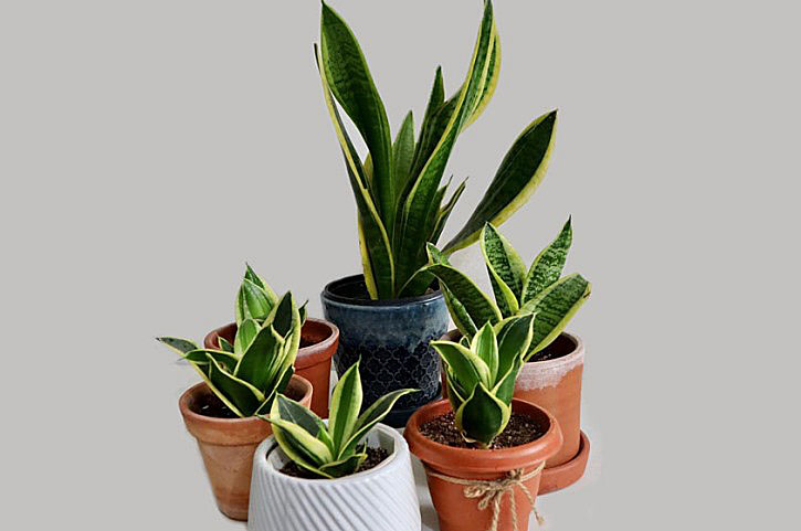 Is Snake Plant Poisonous to Humans