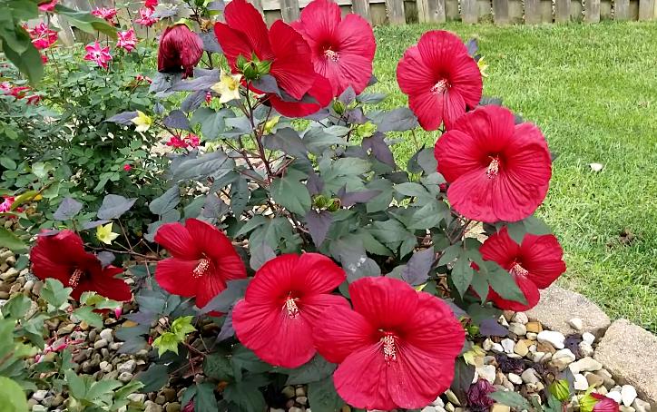 Midnight marvel hardy hibiscus