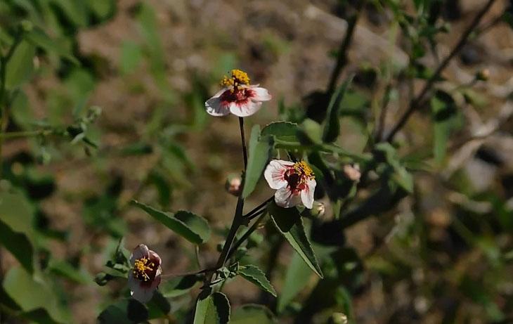 Rock hibiscus