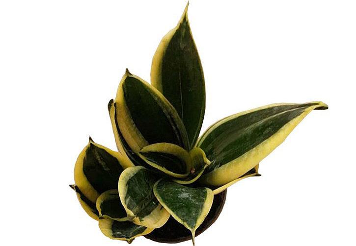 """Sansevieria trifasciata """"Black Gold"""""""