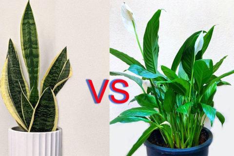 Snake Plant vs Peace Lily