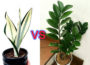 Snake Plant vs ZZ Plant