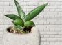 Snake plant flower meaning