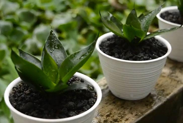 Snake plant jade